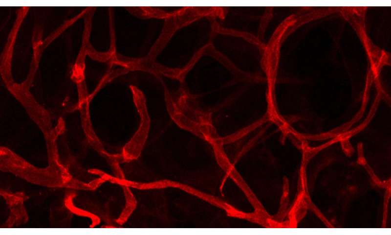 Promising research shows blood vessel growth key to healthy fat tissue