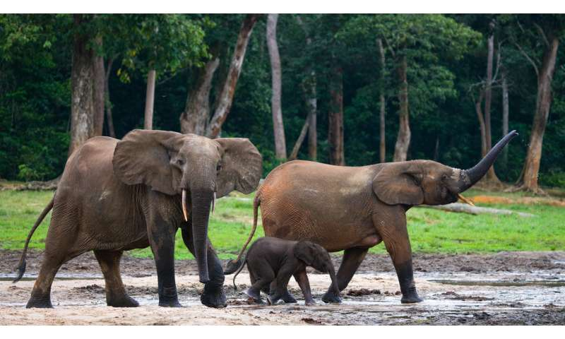 Protect forest elephants to conserve ecosystems, not DNA