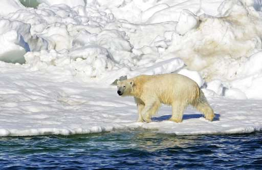 Quota raised for subsistence hunting of Chukchi polar bears