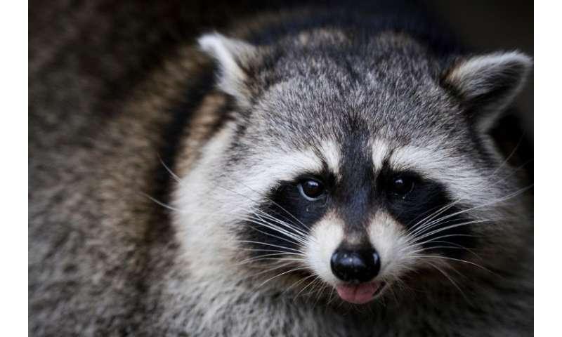 Raccoons' bizarre behavior gets locals' attention in US