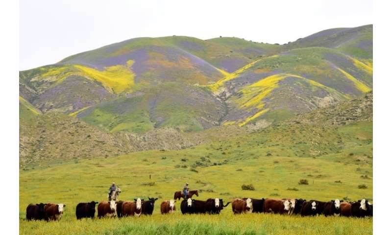 Ranch hands drive cattle to a new pasture against the backdrop of hills covered in  wildflowers in April 2017 in Taft, Californi