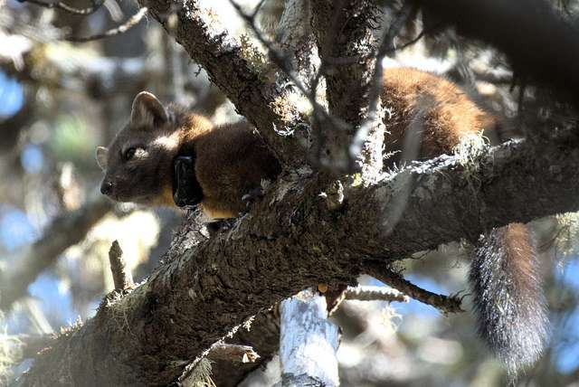 Rare coastal martens under high risk of extinction in coming decades