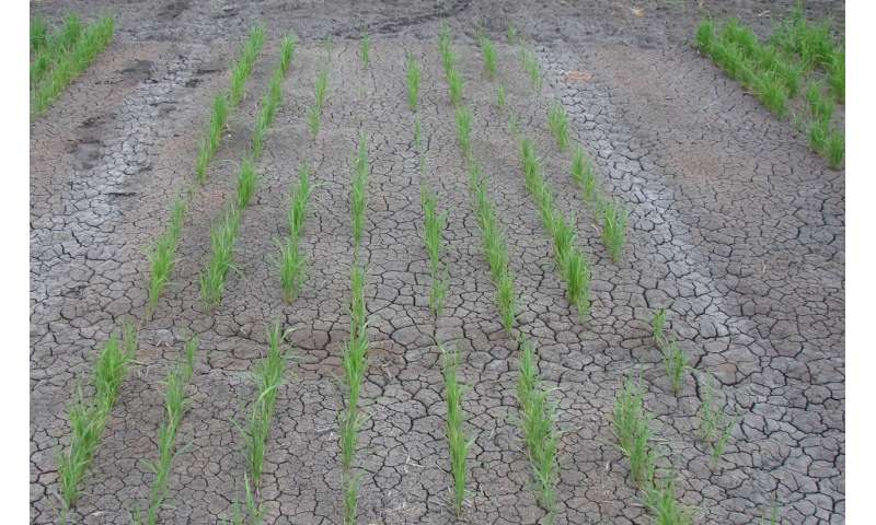 Recent study documents damage to rice crops by three fall-applied residual herbicides