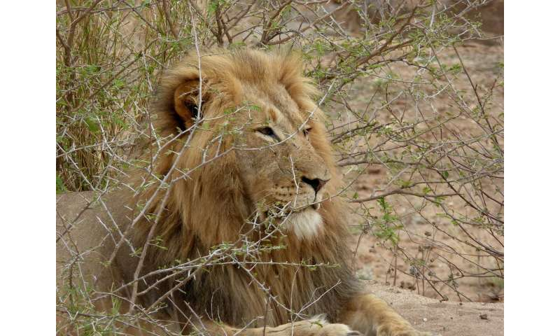 Recovering population of Zimbabwean African lions show low genetic diversity