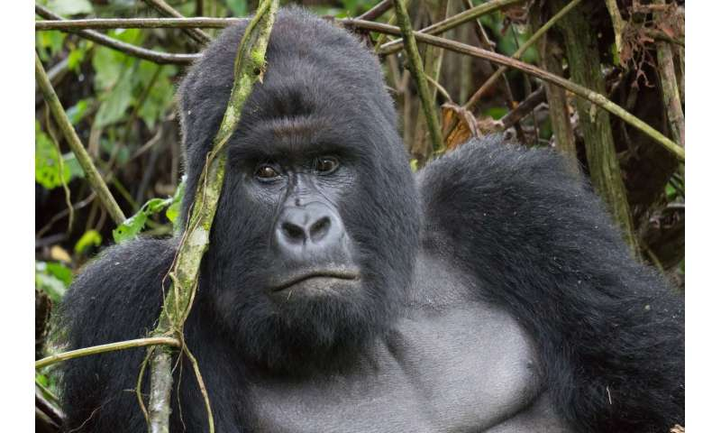 Recycle your old mobile phone to save gorilla populations