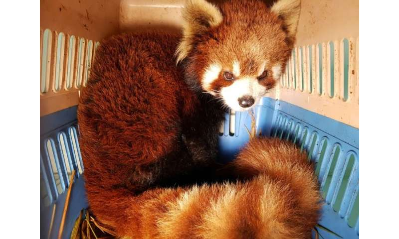 Red pandas are also targeted for their fur