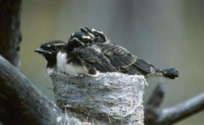 Removing predators doesn't guarantee bird safety