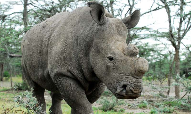 Resurrection of the northern white rhino – could this be the turning point?