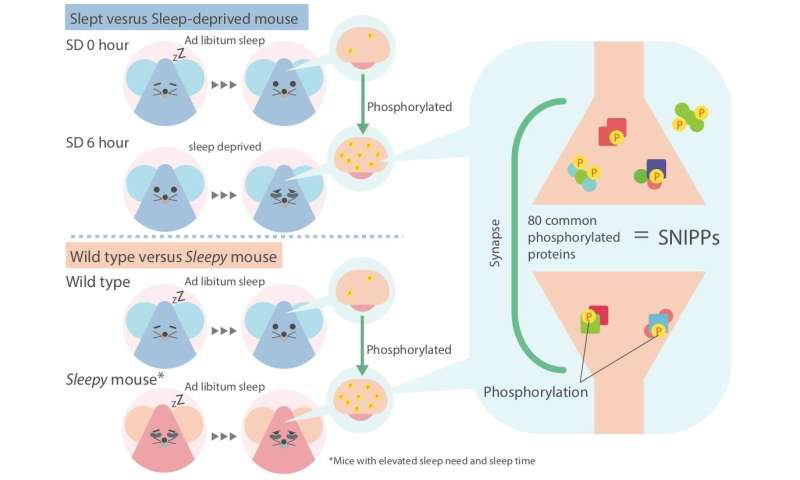 Reversible changes to neural proteins may explain sleep need