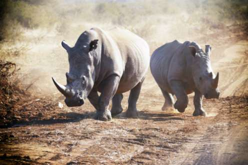 Rhino horn used to comfort the terminally ill in Vietnam