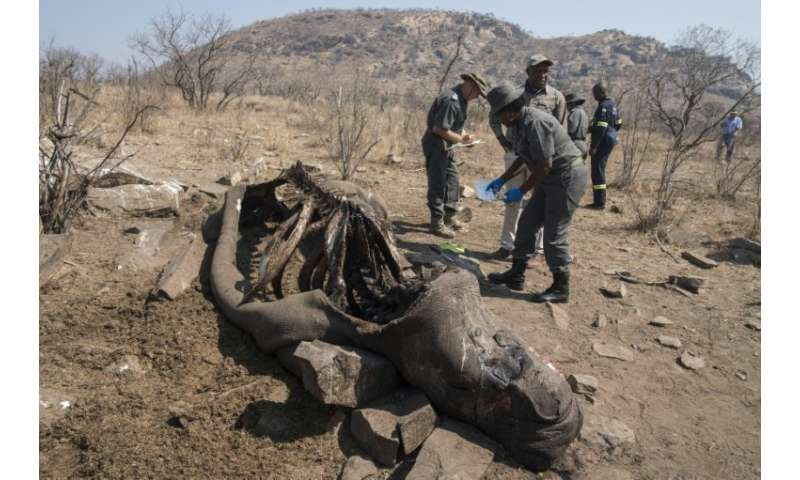 Rhinos are hunted for their horns which are considered to bring health benefits, despite no scientific evidence