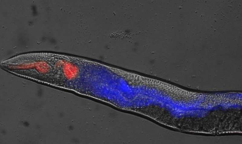 Rigor mortis in worms offers new insight into death
