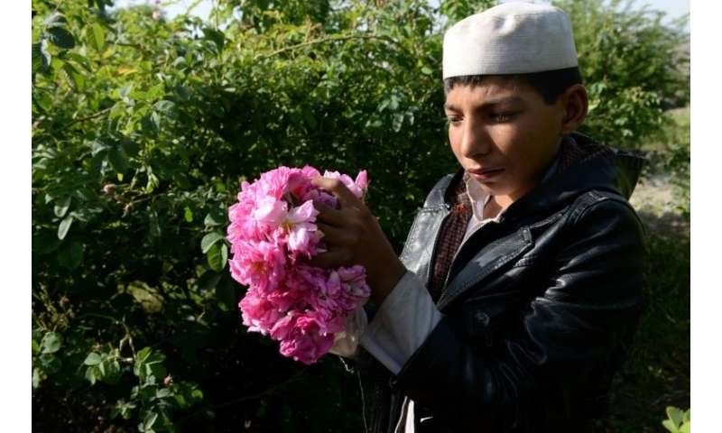 Roses are providing farmers in Nangarhar province with a viable alternative to growing opium poppies, the sale of which has fuel