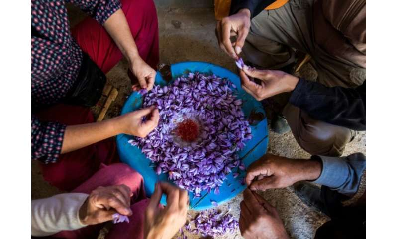 Saffron farmers in southern Morocco are proud of the coveted spice they produce