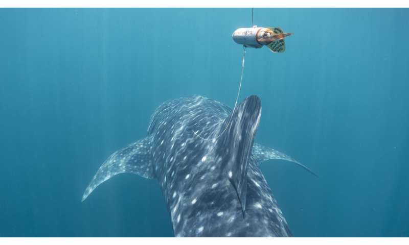 Satellite tracking reveals Philippine waters are important for endangered whale sharks