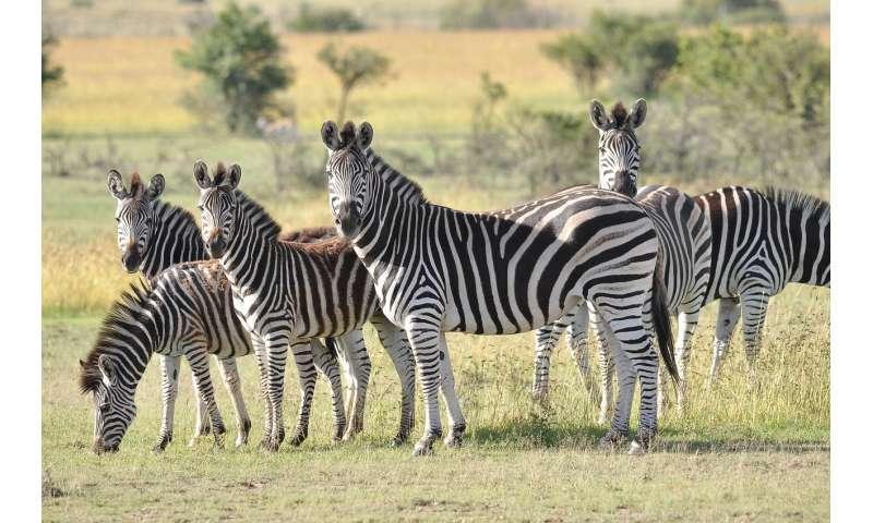 savanna herbivores