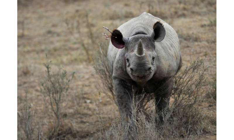 Save the Rhinos estimates there are less than 5,500 black rhinos in the world