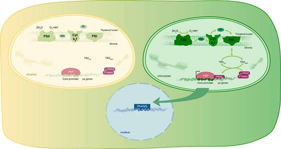 Scientists identify the link between light and chloroplast development