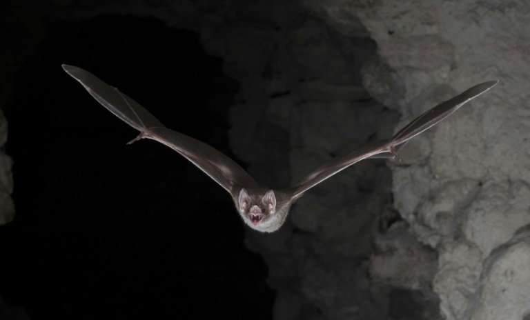 Scientists now believe the vampire bat may have adapted its diet over time to settle on blood—and by doing so gained an evolutio