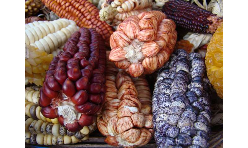 Scientists overhaul corn domestication story with multidisciplinary analysis