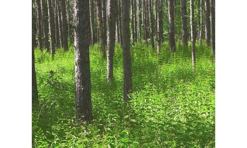 Scientists suggest way to predict the behavior of invasive weeds