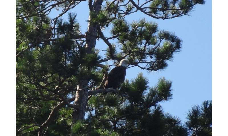 Scouting the eagles: Proof that protecting nests aids reproduction