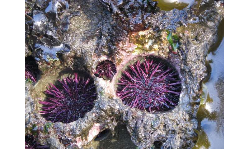Sea urchins erode rock reefs, excavate pits for themselves