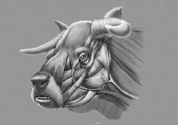 Secrets of extinct cow with face like a bulldog revealed