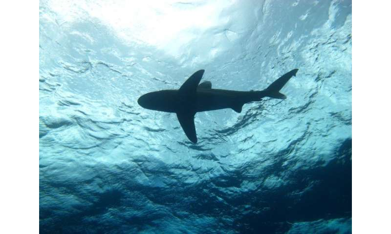 Shark biologist teams up with aerospace engineerto discover behaviors of oceanic whitetips