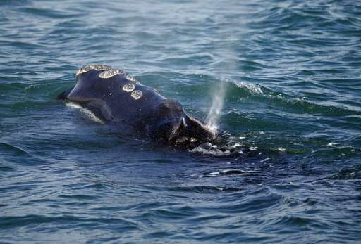 Simulator helps experts understand how whales get entangled