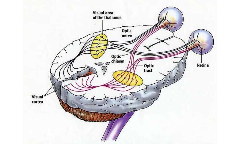 Single neuron consciousness in the binocular brain