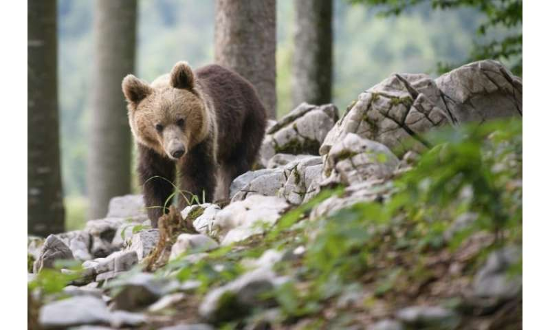 Slovenian bears are sought after abroad and eight were released in the French Pyrenees between 1996 and 2006