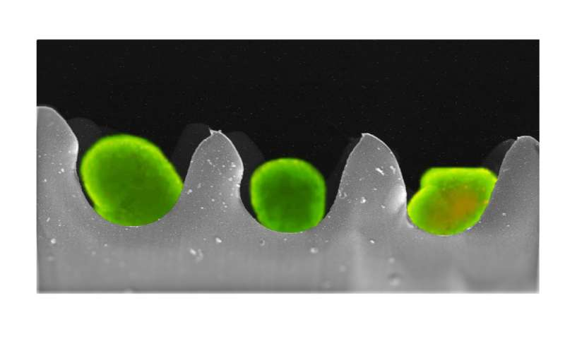 Smart egg cartons to transport cells to cure diabetes