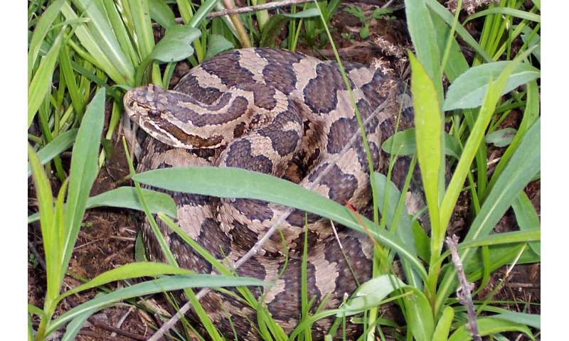 Snake fungal disease alters skin microbiome in eastern Massasaugas