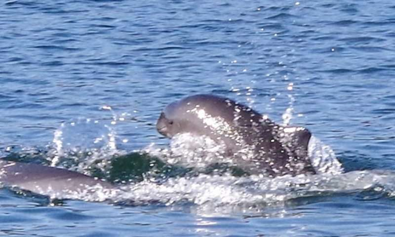 Solitary dolphin socializes with harbour porpoise companions in the Clyde