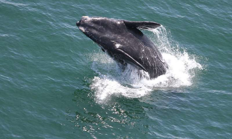 Southern right whale superpod blows a hole in the record books