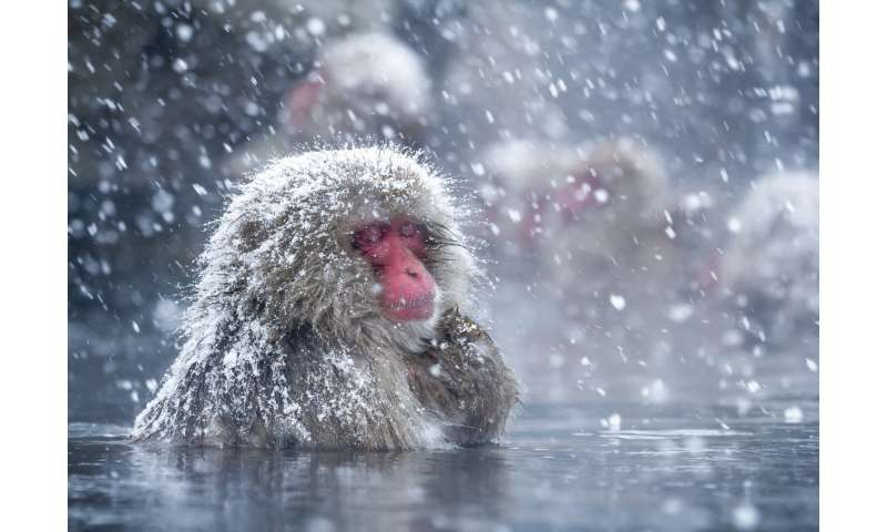 Spa therapy helps Japan's snow monkeys cope with the cold