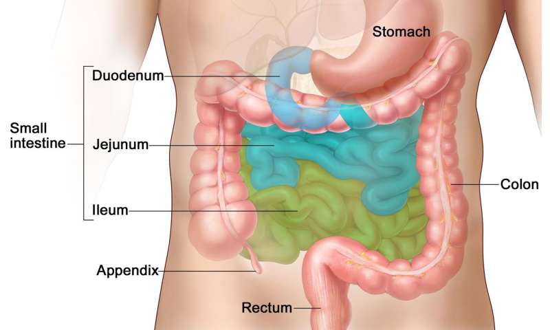 Specific bacteria in the small intestine are crucial for fat absorption