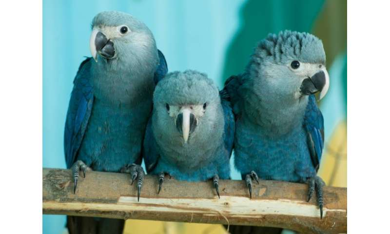 Spix macaws like these at the Association for the Conservation of Threatened Parrots (ACTP) in Schoeneiche, Germany, will be rei