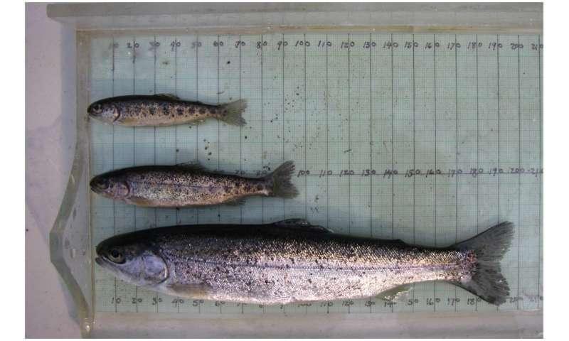 Steelhead life cycle linked to environment, pink salmon abundance