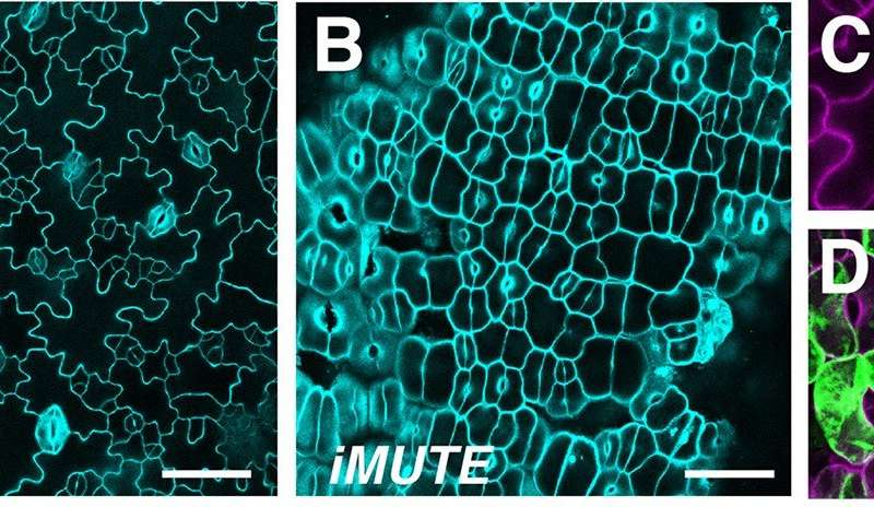 Stomata -- the plant pores that give us life -- arise thanks to a gene called MUTE