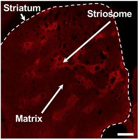 'Striosome' neurons in the basal ganglia play a key role in learning