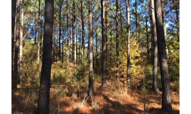 Study forecasts growth rates of loblolly pine trees