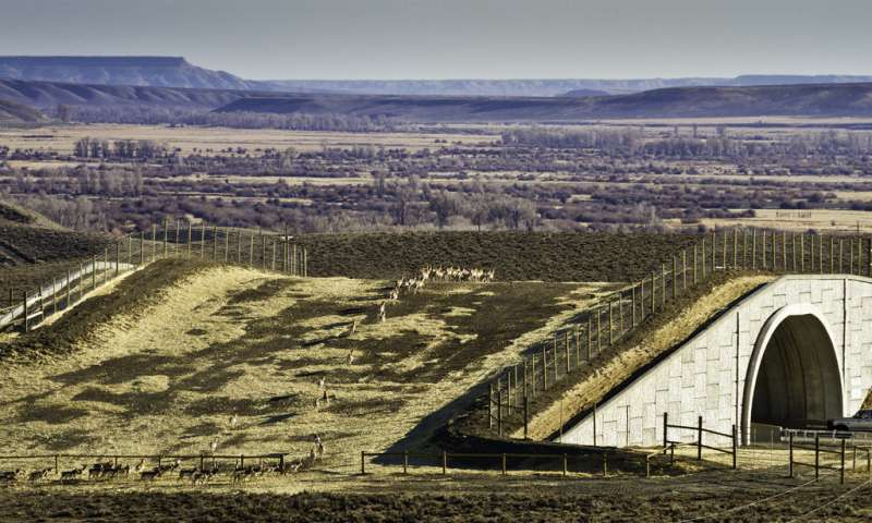 Study of greater Yellowstone pronghorn finds highway crossing structures a conservation success