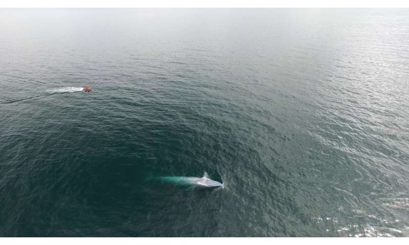 Study shows New Zealand has its own population of blue whales