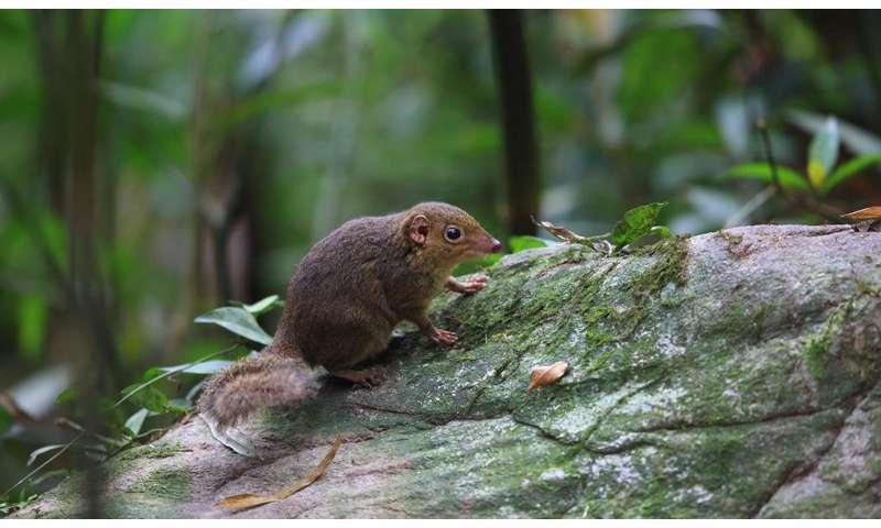 Study shows treeshrews break evolutionary 'rules'
