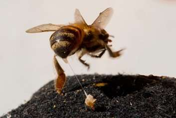 Substances associated with bee ferocity are discovered