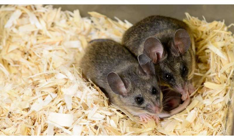 Successful mouse couples talk out infidelity in calm tones