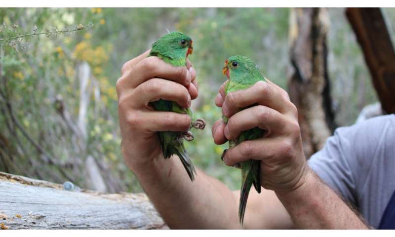Swift parrot protection agreements are being broken