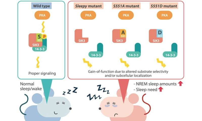 Taking a catnap? Mouse mutation shown to increase need for sleep